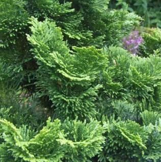 Hinoki - Scheinzypresse Compacta 40-50cm - Chamaecyparis obtusa - Vorschau