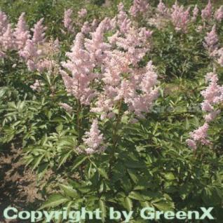 Prachtspiere Europa - Astilbe japonica - Vorschau