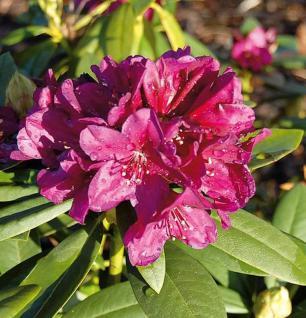 Großblumige Rhododendron Polarnacht 25-30cm - Alpenrose - Vorschau