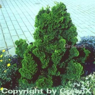 Muschelzypresse Nana Gracilis 10-15cm - Chamaecyparis obtusa - Vorschau