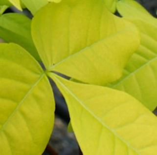 Gold-Hopfenstrauch 100-125cm - Ptelea trifoliata - Vorschau