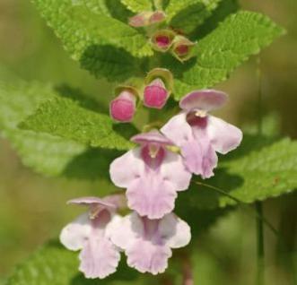 Immenblatt - Melittis melissophyllum - Vorschau