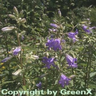 Nesselglockenblume - Campanula trachelium - Vorschau