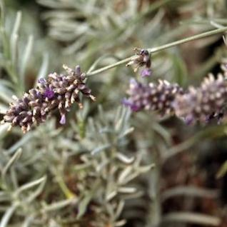 Breitblättriger Lavendel Speik - Lavandula latifolia - Vorschau