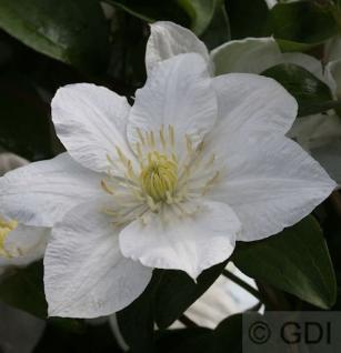 Waldrebe Apollonia 60-80cm - Clematis - Vorschau