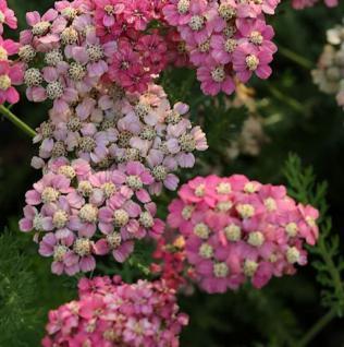 Schafgarbe Colorado - Achillea millefolium - Vorschau