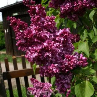 Kanadische Flieder Red Wine 30-40cm - Syringa prestoniae - Vorschau