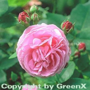 Historische Rose Louise Odier 30-60cm - Vorschau