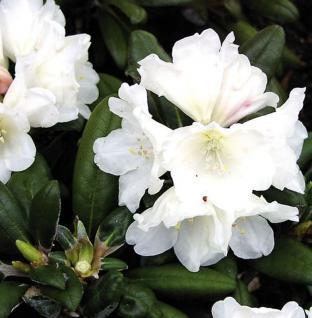 Rhododendron Schneekissen 25-30cm - Alpenrose - Vorschau