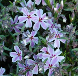Teppich Phlox Candy Stripes - Phlox subulata - Vorschau