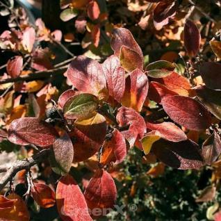 Glänzende Zwergmispel 40-60cm - Cotoneaster lucidus - Vorschau