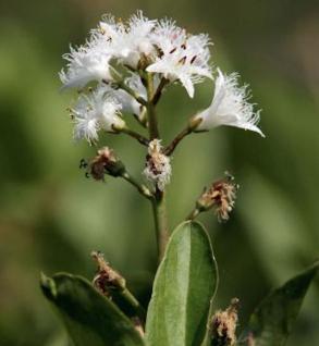 Bitterklee Fieberklee - Menyanthes trifoliata - Vorschau