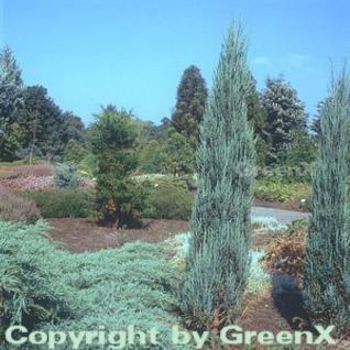 Blauer Raketenwacholder 100-125cm - Juniperus scopulorum - Vorschau