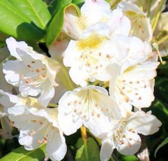 Rhododendron brachycarpum 25-30cm - Vorschau