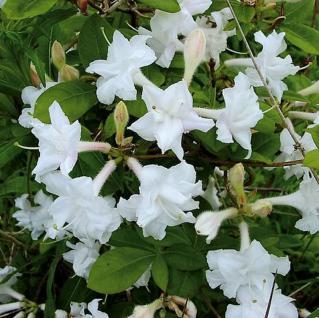 Azalee Whitethroat 40-50cm - Rhododendron luteum - Alpenrose - Vorschau