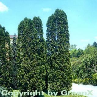 Säulen Lebensbaum 100-125cm - Thuja occidentalis - Vorschau