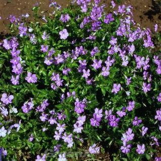 Hornveilchen Azurella - Viola cornuta - Vorschau