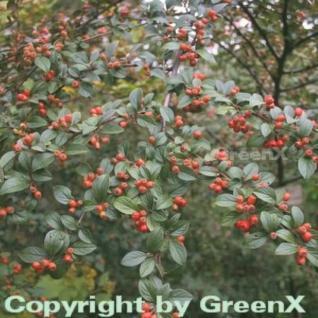 Fruchtmispel 100-125cm - Cotoneaster franchetii - Vorschau