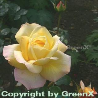 Hochstamm Rose Gloria Dei 80-100cm - Vorschau