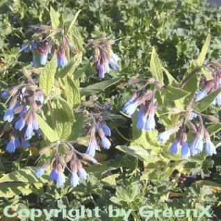 Blauer Beinwell - Symphytum azureum - Vorschau