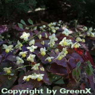 Schwefelfarbige Elfenblume - Epimedium versicolor - Vorschau