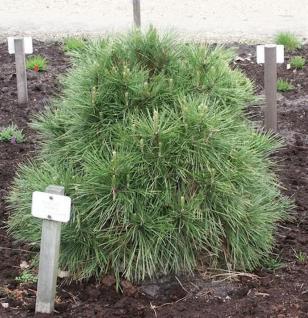 Kugelschwarzkiefer Green Spielberg 20-25cm - Pinus nigra Spielberg - Vorschau