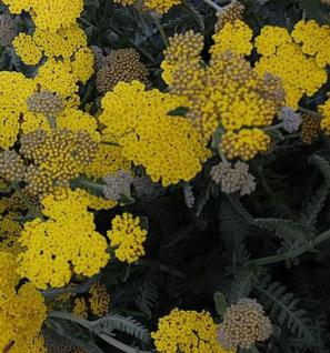 Goldquirlgarbe Moonshine - Achillea clypeolata - Vorschau