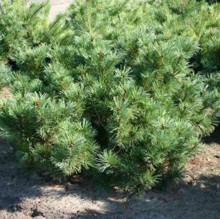 Zwergzirbelkiefer 50-60cm - Pinus cembra - Vorschau