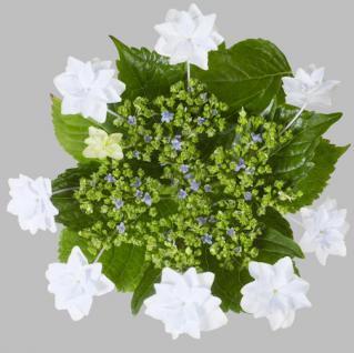 Bauernhortensie Fireworks White® 30-40cm - Hydrangea macrophylla - Vorschau
