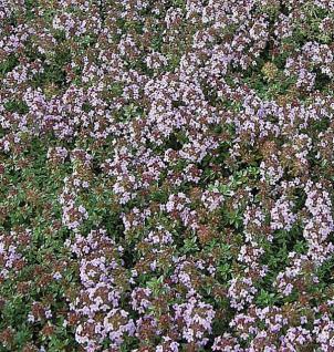 Kümmel Thymian - Thymus herba-barona - Vorschau