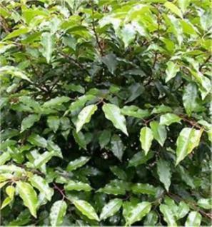 Portugiesische Lorbeerkirsche Angustifolia 125-150cm - Prunus lusitanica - Vorschau