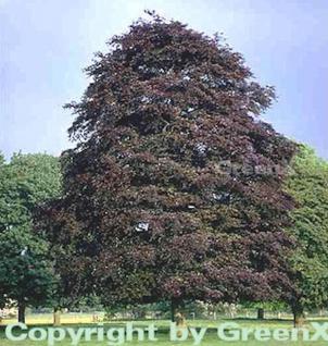 Blutbuche Swat Magret 40-60cm - Fagus sylvatica - Vorschau