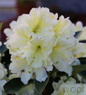 Großblumige Rhododendron Dufthecke Gelb® 40-50cm - Alpenrose - Vorschau