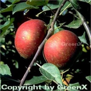 Apfelbaum Ingrid Marie 60-80cm - edel und saftig - Vorschau