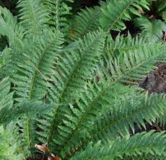 Glanzschildfarn - Polystichum aculeatum - Vorschau