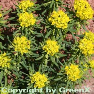 Zypressen Wolfsmilch - Euphorbia cyparissias - Vorschau