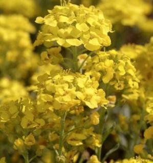 Wulfen Steinkraut - Alyssum wulfenianum - Vorschau