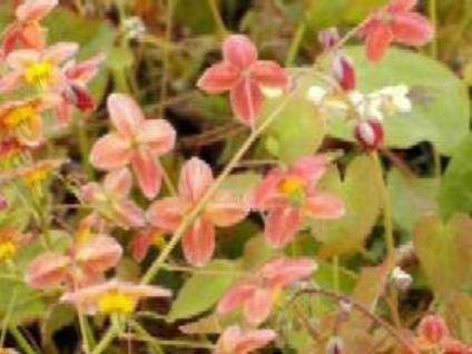 Elfenblume Orangekönigin - Epimedium warleyense - Vorschau