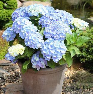 Kleinwüchsige Gartenhortensie Nikko Blue 30-40cm - Hydrangea macrophylla - Vorschau