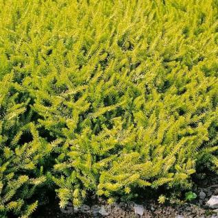 10x Winterheide Golden Starlet - Erica carnea - Vorschau