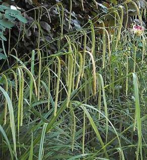 Riesensegge - Carex pendula - Vorschau