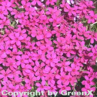 Teppich Flammenblume Crackerjack - Phlox Douglasii - Vorschau