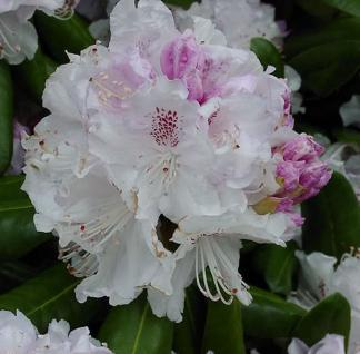 Großblumige Rhododendron Bismarck 30-40cm - Alpenrose - Vorschau
