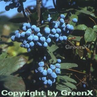 Mahonie 40-60cm - Mahonia aquifolium - Vorschau