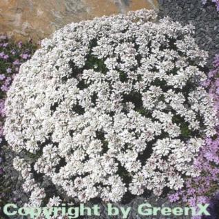 Schleifenblume Schneeflocke - Iberis sempervirens - Vorschau