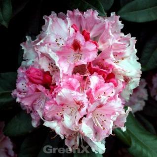 Rhododendron Ballkönigin 60-70cm - Rhododendron williamsianum - Vorschau
