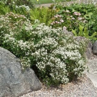 Staudenclematis Grandiflora - Clematis recta - Vorschau