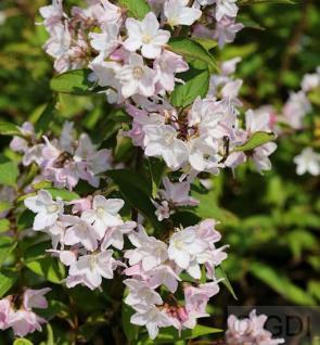 Kleine Deutzie Maiblumenstrauch Yuki Cherry Blossom 40-50cm - Deutzia scabra - Vorschau