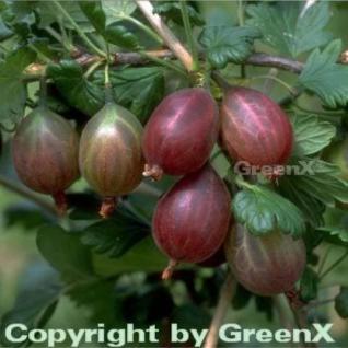 Stachelbeere rot - Ribes uva-crispa - Vorschau