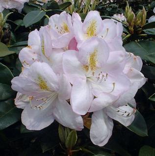 Großblumige Rhododendron Gomer Waterer 30-40cm - Alpenrose - Vorschau